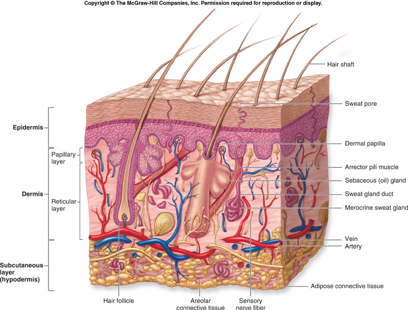 Diagrams - The integumentary system