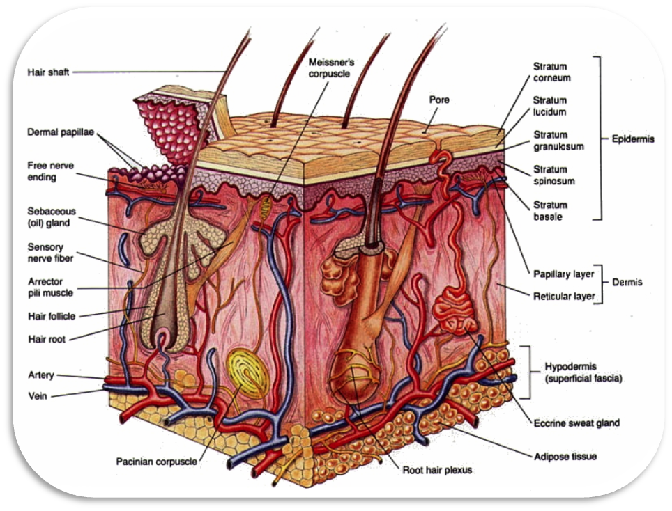 diagrams the integumentary system : integumentary system diagram - findchart.co